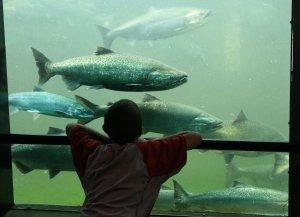 Salmon SEEson: Ballard Locks Salmon Viewing