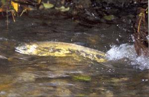 salmon in Venema Creek (Carkeek Park)